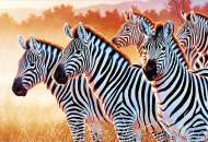 Zebras (TRE26129), a 1500 piece jigsaw puzzle by Trefl. Click to view this jigsaw puzzle.
