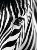 Face To Face (Zebra) (RB14735-9), a 500 piece Ravensburger jigsaw puzzle.