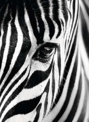 Face To Face (Zebra) (RB14735-9), a 500 piece jigsaw puzzle by Ravensburger. Click to view larger image.