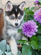 Cute Husky. Click to view this product