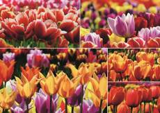Dutch Tulips, Holland (JUM18364), a 1000 piece Jumbo jigsaw puzzle.