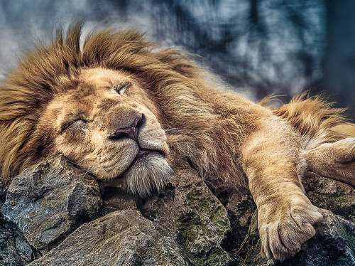 Sleeping Lion (TRE10447), a 1000 piece jigsaw puzzle by Trefl. Click to view larger image.