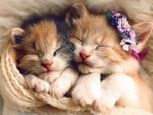 Sleeping Kittens (TRE37271), a 500 piece jigsaw puzzle by Trefl. Click to view larger image.
