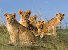 Lion Cubs (RB14791-5), a 500 piece Ravensburger jigsaw puzzle.