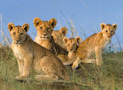 Lion Cubs (RB14791-5), a 500 piece jigsaw puzzle by Ravensburger. Click to view larger image.