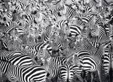 Zebra Challenge. Click to view this product
