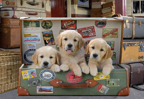 Puppies in the Luggage (EDU17645), a 500 piece jigsaw puzzle by Educa. Click to view larger image.