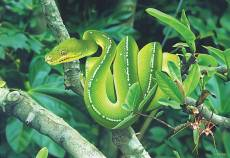 Green Tree Python (A.... Click to view this product