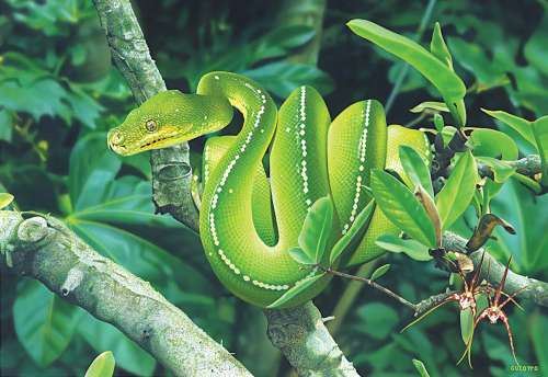 Green Tree Python (Australian Geographic) (BL02010), a 1000 piece jigsaw puzzle by Blue Opal. Click to view larger image.