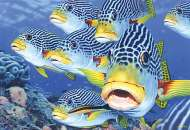 Oblique-Banded Sweetlips (Australian Geographic) (BL02011), a 1000 piece Blue Opal jigsaw puzzle.