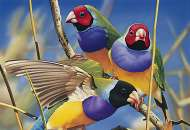 Gouldian Finches (Australian Geographic) (BL02009), a 1000 piece Blue Opal jigsaw puzzle.