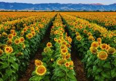 Sunflowers - Fields of Gold (RB15288-9), a 1000 piece Ravensburger jigsaw puzzle.