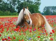 Horse in the Poppy Field (RB14831-8), a 500 piece Ravensburger jigsaw puzzle.