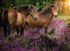 Ponies in the Flowers. Click to view this product