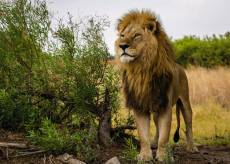 King of the Lions. Click to view this product