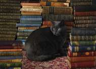 Library Cat (COB80124), a 1000 piece jigsaw puzzle by Cobble Hill. Click to view this jigsaw puzzle.