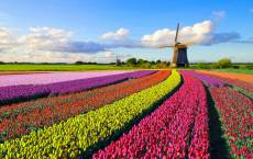 Field of Tulips, Hol.... Click to view this product