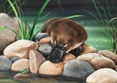Platypus - River Companions (All Creatures Great and Small) (HOL773046), a 1000 piece Holdson jigsaw puzzle.