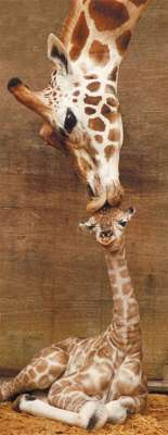 First Kiss (Giraffes Panorama) (RB15115-8), a 1000 piece jigsaw puzzle by Ravensburger. Click to view larger image.