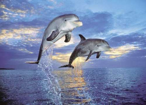 Dolphins (CLE 30139), a 500 piece jigsaw puzzle by Clementoni. Click to view larger image.