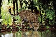 Leopard Drinking (CLE 32537), a 2000 piece Clementoni jigsaw puzzle.