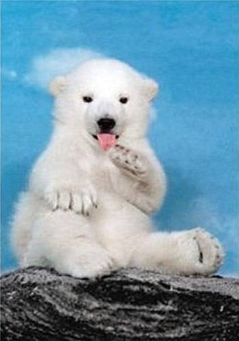 Polar Bear Cub (CLE 30364), a 500 piece jigsaw puzzle by Clementoni.