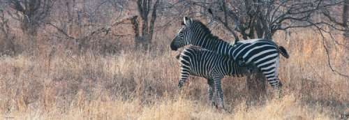 Zebra Foal Feeding (HEY29469), a 1000 piece jigsaw puzzle by HEYE. Click to view larger image.