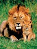 Lion and Cub (EUR61148), a 1000 piece Eurographics jigsaw puzzle.