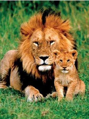 Lion and Cub (EUR61148), a 1000 piece jigsaw puzzle by Eurographics. Click to view larger image.