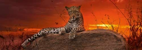 Leopard Red Dawn (HEY29608), a 2000 piece jigsaw puzzle by HEYE. Click to view larger image.