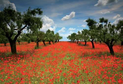 Poppy Field (EDU15992), a 1000 piece jigsaw puzzle by Educa. Click to view larger image.