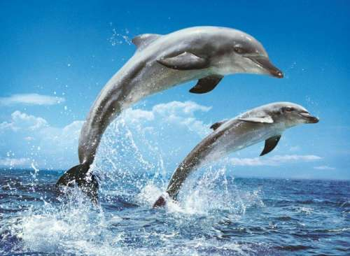 Dolphins (CLE 39205), a 1000 piece jigsaw puzzle by Clementoni. Click to view larger image.