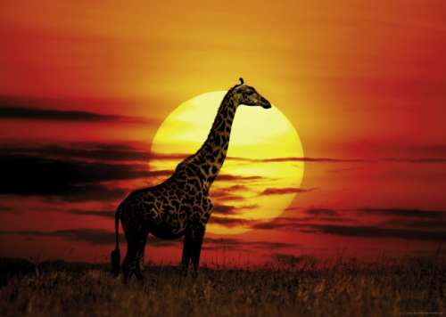 Sunny Giraffe (HEY29688), a 1000 piece jigsaw puzzle by HEYE. Click to view larger image.