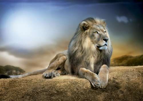 His Majesty (Lion) (EDU16292), a 1000 piece jigsaw puzzle by Educa. Click to view larger image.