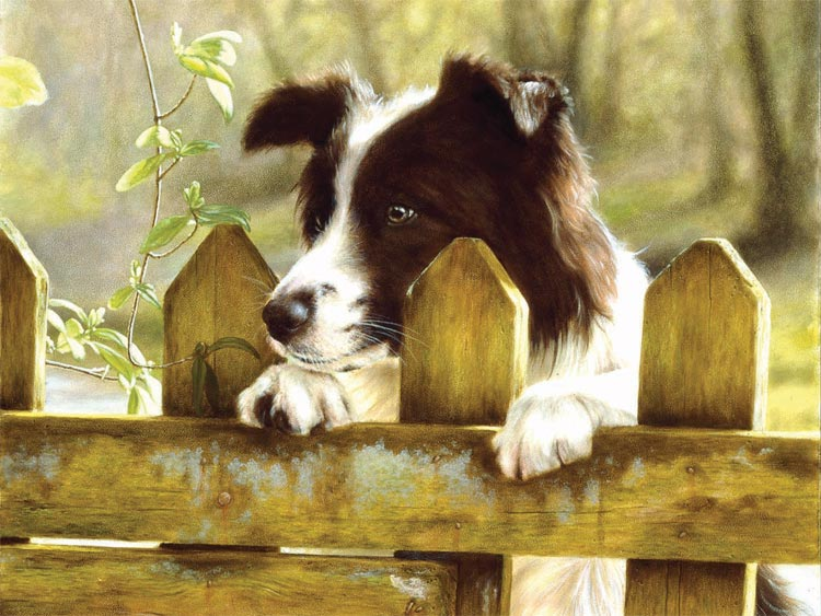 Peeking Pooch (Border Collie) Jigsaw by Ravensburger ...