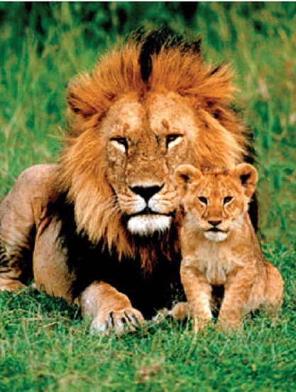 Lion And Cub Jigsaw By Eurographics Eur61148 1000 Pcs